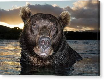 Brown Bear Ursus Arctos In River Canvas Print by Sergey Gorshkov