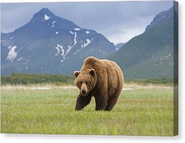 Brown Bears, Katmai National Park, Alaska, Usa Canvas Print by Mint Images/ Art Wolfe