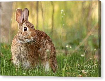 Canvas Print featuring the photograph Brown Bunny by Denise Pohl