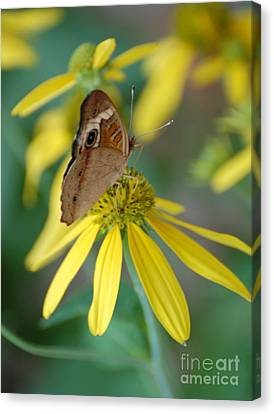 Brown Butterfly Canvas Print by Patty Vicknair