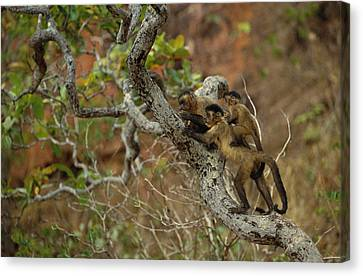 Brown Capuchin Cebus Apella Three Canvas Print by Pete Oxford