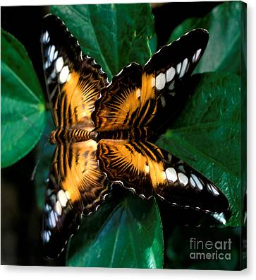 Brown Clipper Butterflies Mating Canvas Print by Terry Elniski