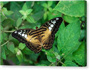 Brown Clipper Butterfly Canvas Print by Eva Kaufman
