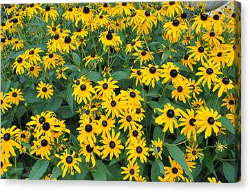 Brown Eyed Susans Canvas Print by Jan Amiss Photography