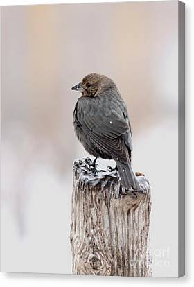 Canvas Print featuring the photograph Brown-headed Cowbird by Jack R Brock