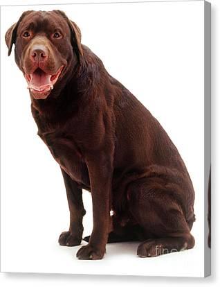 Brown Labrador Retriever Canvas Print by Jane Burton