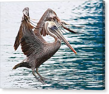 Brown Pelican . 7d8253 Canvas Print by Wingsdomain Art and Photography