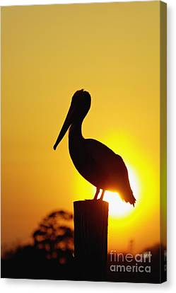 South Carolina State Bird Canvas Print - Brown Pelican And Sunset - D006748 by Daniel Dempster