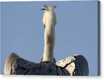 Brown Pelican Drying Its Wings Natural Canvas Print