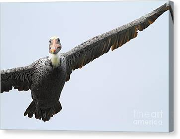 Bif Canvas Print - Brown Pelican In Flight . 7d8355 by Wingsdomain Art and Photography