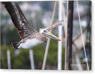 Bif Canvas Print - Brown Pelican In Flight . 7d8365 by Wingsdomain Art and Photography