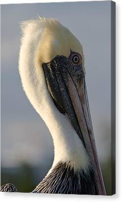Canvas Print featuring the photograph Brown Pelican Profile by Ed Gleichman
