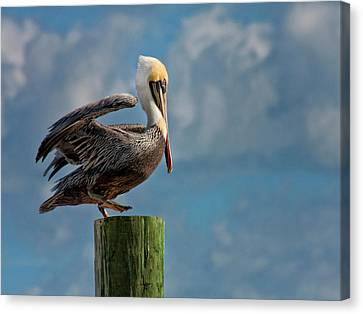 Brown Pelican Ready To Fly Canvas Print by Sandra Anderson