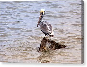 Brown Pelican Canvas Print by Susi Stroud