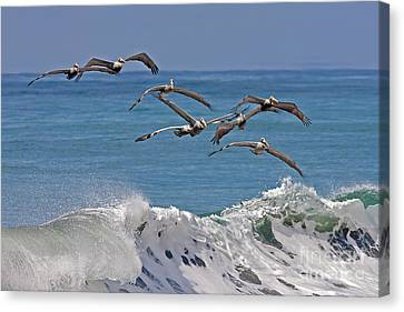 Brown Pelicans Canvas Print