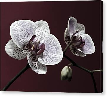 Brown Purple White Orchids Flower Macro - Flower Photograph Canvas Print by Artecco Fine Art Photography
