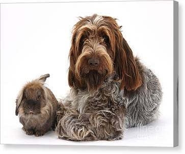 Brown Roan Italian Spinone Dog Canvas Print