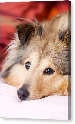 Brown Sheltie Canvas Print by Kati Molin