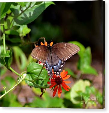 Brown Swallowtail Butterfly Canvas Print by Eva Thomas