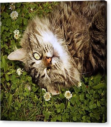 Brown Tabby Cat Laying In Grass And Clover Canvas Print