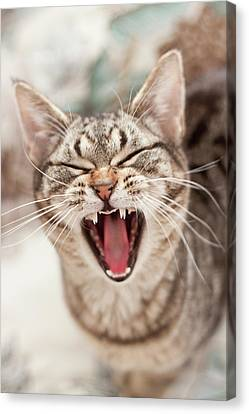 Brown Tabby Cat Yawning And Showing Teeth Canvas Print