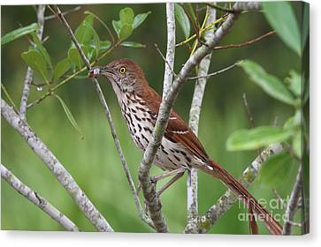 Brown Thrasher Snacking Canvas Print by Jennifer Zelik