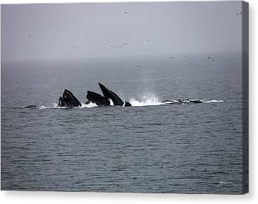 Bubble Netting Whales In Alaska Canvas Print by Gary Gunderson