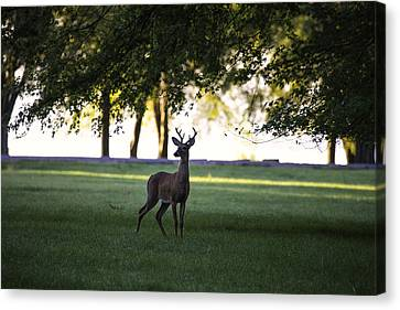 Buck At Dawn Canvas Print