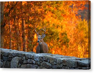 Buck In The Fall 01 Canvas Print by Metro DC Photography