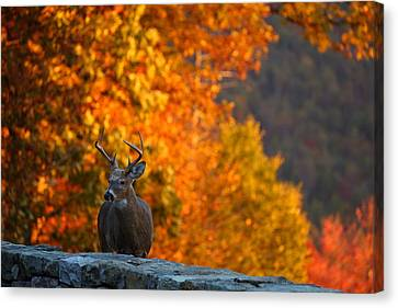 Buck In The Fall 03 Canvas Print by Metro DC Photography