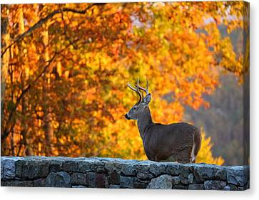 Antler Canvas Print - Buck In The Fall 05 by Metro DC Photography