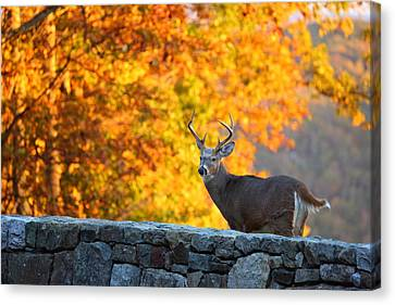 Buck In The Fall 07 Canvas Print by Metro DC Photography