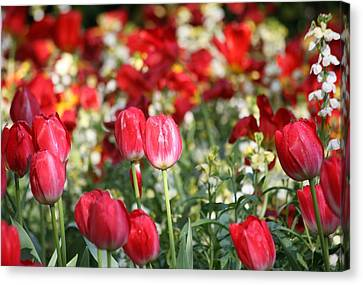 Buckingham Tulips Canvas Print by Carrie OBrien Sibley