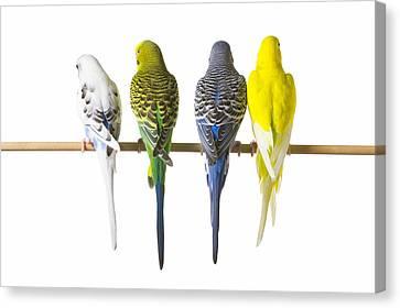 Budgie Bird Posteriors Canvas Print