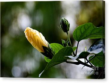 Buds Canvas Print by Pravine Chester