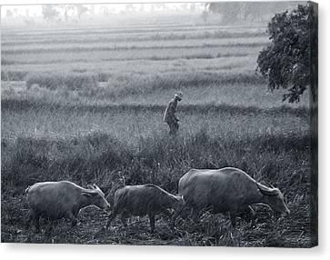 Buffalo And Monsoon Rain Canvas Print by Anonymous