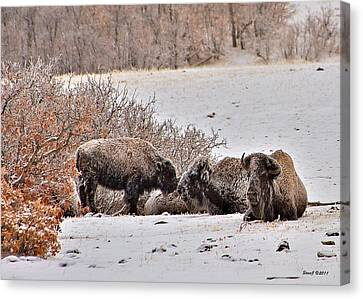 D700 Canvas Print - Buffalo Braving The Winter Cold by Stephen  Johnson