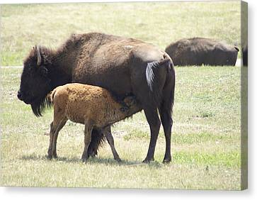 Buffalo Family Canvas Print