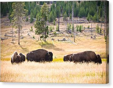 Buffalo In Golden Grass Canvas Print by Cindy Singleton