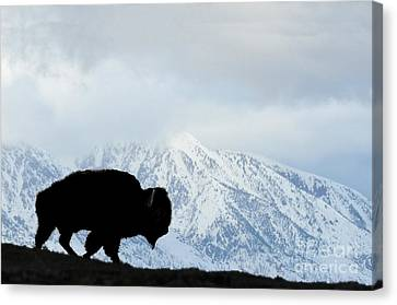Canvas Print featuring the photograph Buffalo Suvived Another Yellowstone Winter by Dan Friend