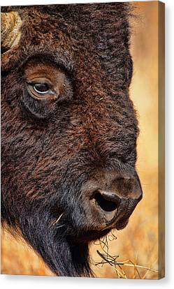 Buffalo Up Close Canvas Print by Alan Hutchins