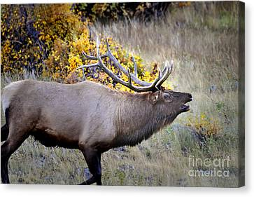 Canvas Print featuring the photograph Bugling Elk  In Rmnp by Nava Thompson