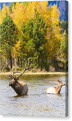 Bull And Cow Elk  Water And Autumn Colors Canvas Print by James BO  Insogna