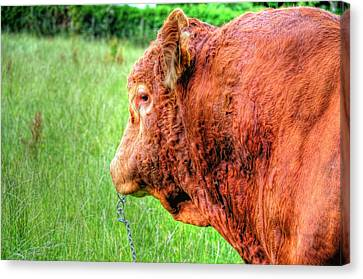 Bull Canvas Print by Barry R Jones Jr