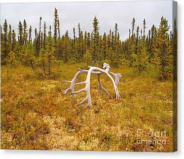 Bull Caribou Winter Kill Canvas Print