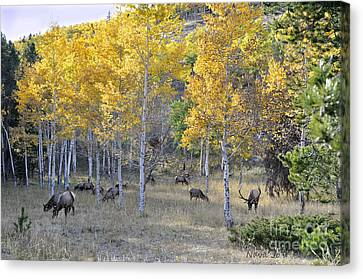 Canvas Print featuring the photograph Bull Elk And Harem by Nava Thompson