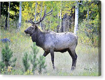 Canvas Print featuring the photograph Bull Elk by Nava Thompson