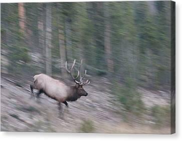 Bull Elk On The Run Canvas Print by David Wilkinson