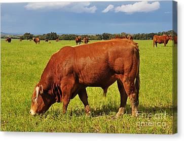 Bull In The Pasture Canvas Print by Armando Carlos Ferreira Palhau