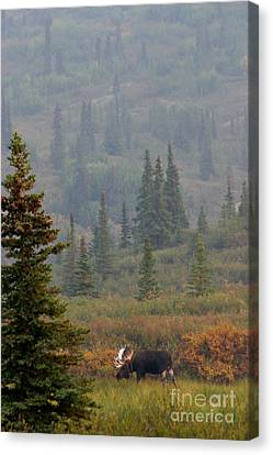 Bull Moose In Alaska Canvas Print